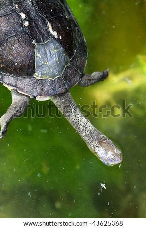 Stock Photo Eastern Snake-Necked Turtle - Chelodina longicollis - Australian Native Animal