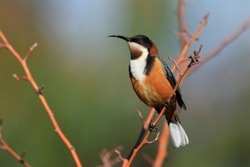 Eastern Spinebill honeyeater, Acanthorhynchus tenuirostris, perched on a tree branch with copy space in Tasmania Australia.