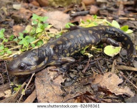 Eastern Tiger Salamander, Ambystoma tigrinum
