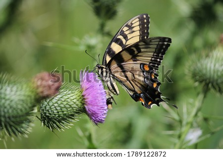Photo of  Eastern tiger swallowtail butterfly and a bumblebee feeding on a bull thistle flower