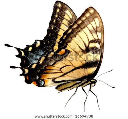 Eastern Tiger Swallowtail Butterfly isolated on white background with clipping path included