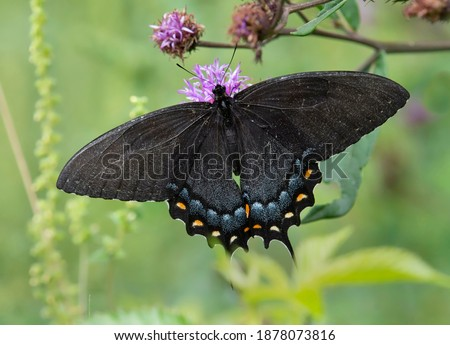 Photo of  Eastern tiger swallowtail butterfly on purple flower