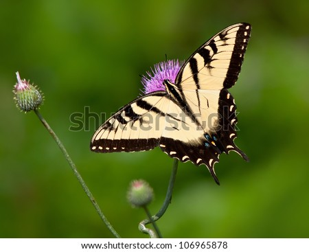 Eastern Tiger Swallowtail butterfly (Papilio glaucus) feeding on thistle flowers. Natural green background with copy space.