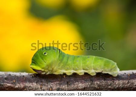 Photo of  Eastern Tiger Swallowtail Caterpillar (Papilio glaucus)