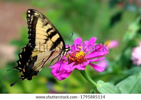 Photo of  Eastern tiger swallowtail feeding on a zinnia  flower