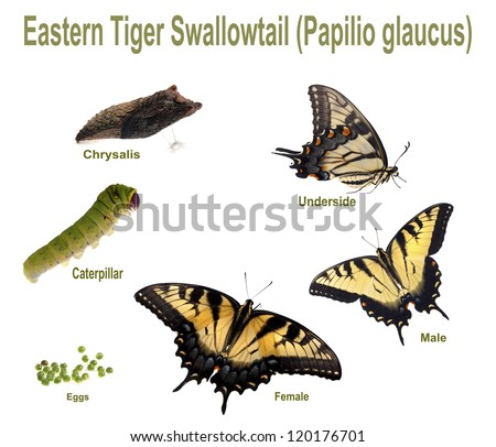 Eastern Tiger Swallowtail. Life cycle and all instars of the Eastern Tiger Swallowtail (Papilio glaucus).