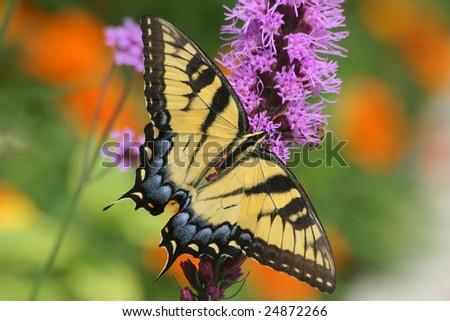 Eastern Tiger Swallowtail On Blazingstar, Papilio glaucus Linnaeus - stock photo