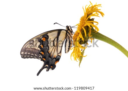 Eastern Tiger Swallowtail (Papilio glaucus)  female isolated on white