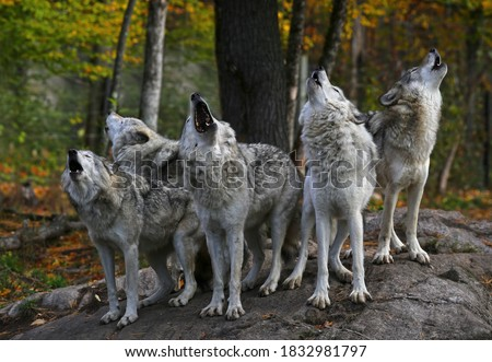 Eastern timber wolves howling on a rock in Canada.