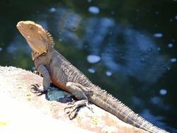 Eastern Water Dragon Lizard at St Ives NSW Australia.