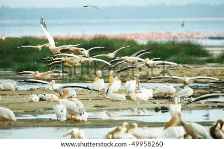 Eastern White Pelican (Pelecanus onocrotalus) or Great White Pelican with Grey-headed Gulls (Chroicocephalus cirrocephalus) and Lesser Flamingoes around the water pools in South Africa