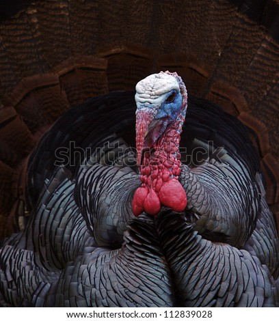 Eastern Wild Turkey; sharp, detailed close up portrait of a Tom with tail fanned out; Thanksgiving turkey hunting