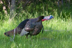 Eastern Wild Turkey tom (Meleagris gallopavo) strutting with tail feathers in fan gobbling through a grassy meadow in Canada