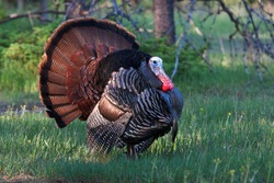 Eastern Wild Turkey tom (Meleagris gallopavo) strutting with tail feathers in fan through a grassy meadow in Canada