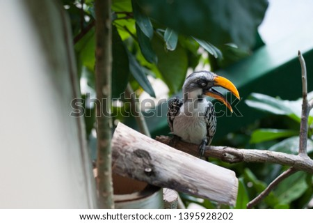 Eastern yellow billed hornbill bird