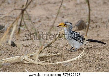 Eastern Yellow-billed Hornbill bird in Kruger National Park, South Africa.