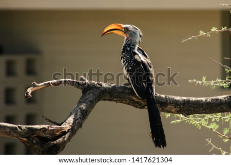 Eastern yellow-billed hornbill on a branch  - Namibia, Africa