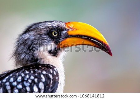 Eastern yellow-billed hornbill portrait in Samburu National Park in Kenya