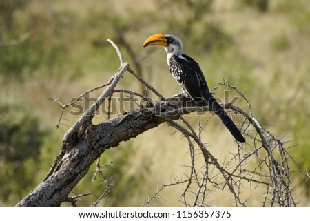 Eastern yellow-billed hornbill sitting on dead branch, Samburu Game Reserve, Kenya