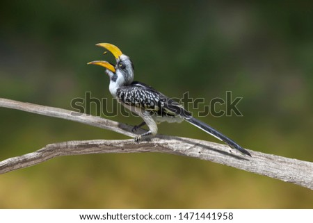 Eastern yellow-billed hornbill (Tockus flavirostris), also known as the northern yellow-billed hornbill, with bill open, catching a seed in the air.