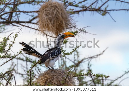 Eastern yellow-billed hornbill, Tockus flavirostris, perched in tree on large nest. Samburu National Reserve, Kenya, East Africa. Birdwatching on African safari, huge yellow bill with blue sky