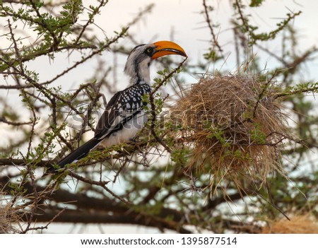 Eastern yellow-billed hornbill, Tockus flavirostris, perched on branch beside large nest. Samburu National Reserve, Kenya, East Africa. Birdwatching on safari in Kenya