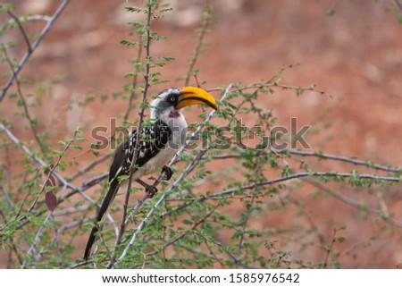 Eastern Yellow-billed Hornbill (Tockus flavirostris), Samburu National Reserve, Kenya, East Africa, Africa, PublicGround