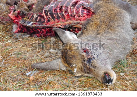 Eaten corpse of a red deer (Cervus elaphus) by wild wolves (Canis lupus), also known as the grey/gray wolf or timber wolf. Winter/spring time with snow. Carpathian mountains. Slovakia.  #1361878433
