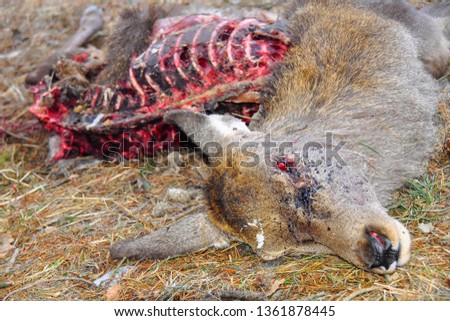 Eaten corpse of a red deer (Cervus elaphus) by wild wolves (Canis lupus), also known as the grey/gray wolf or timber wolf. Winter/spring time with snow. Carpathian mountains. Slovakia.  #1361878445