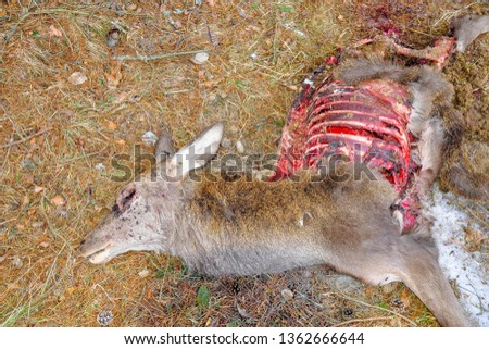 Eaten corpse of a red deer (Cervus elaphus) by wild wolves (Canis lupus), also known as the grey/gray wolf or timber wolf. Winter/spring time with snow. Carpathian mountains. Slovakia.  #1362666644