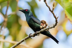 Eating bird. The Asian glossy starling (Aplonis panayensis) is a species of starling in the family Sturnidae. It is found in Bangladesh, Brunei, India, Indonesia, Malaysia, Myanmar, the Philippines.