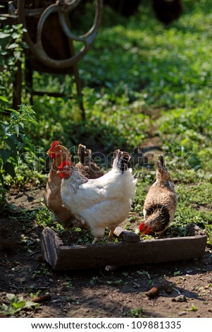 Eating chickens on poultry yard