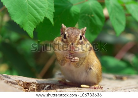 Eating Chipmunk - stock photo