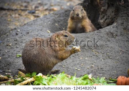 Eating gopher closeup