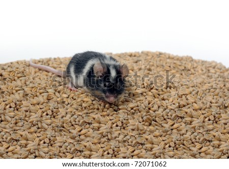 eating on wheat's background grain mouse