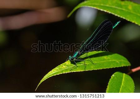 Ebony Jewelwing Dragonfly