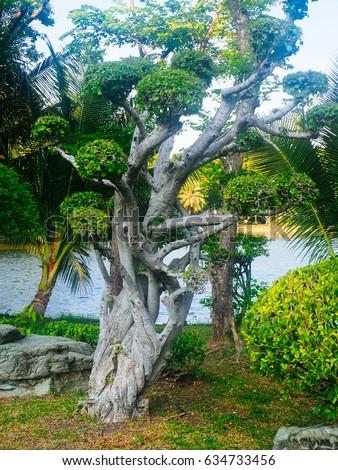 Ebony Tree in Lumpini park, Bangkok Thailand #634733456