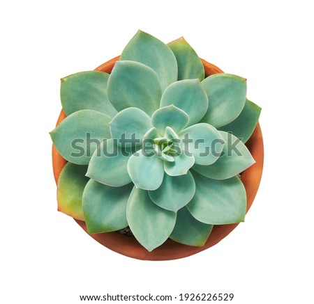 Echeveria elegans, Echeveria cactus, Succulent plant in clay pot, Top view, isolated on white background with clipping path                              Stock fotó ©