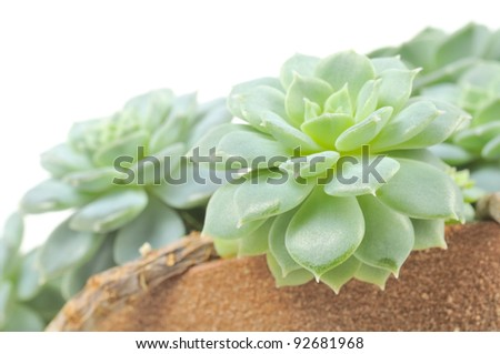 Echeveria Elegans (Hen and Chicks) Plant in Pot