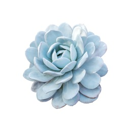 Echeveria elegans the Mexican snow ball, Mexican gem or white Mexican rose, is a flowers native to semi-desert in Mexico. Flowers isolated on the white background