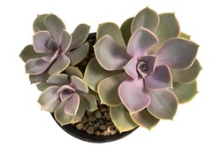 Echeveria perle von nurnberg, Purple echeveria cactus in pot, Top view, isolated on white background with clipping path
