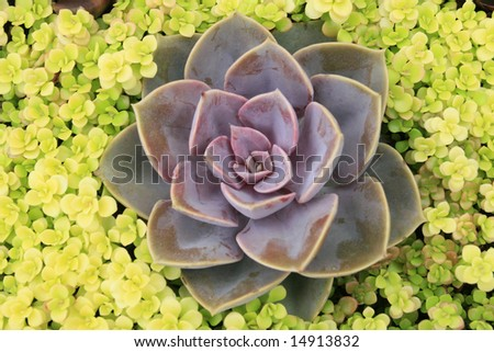 Echeveria succulent plant collection, arrangement.