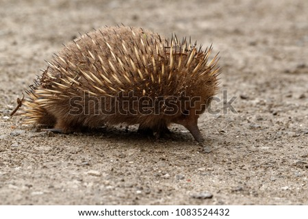Echidnas sometimes known as spiny anteaters, belong to the family Tachyglossidae in the monotreme order of egg-laying mammals. The four extant species, together with the platypus, are the only survivi