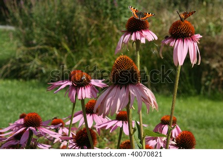 Echinacea - Cone-flower Closeup, found in a garden on a sunny summer day