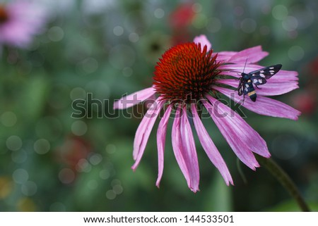 Echinacea flower and a butterfly in a garden close up