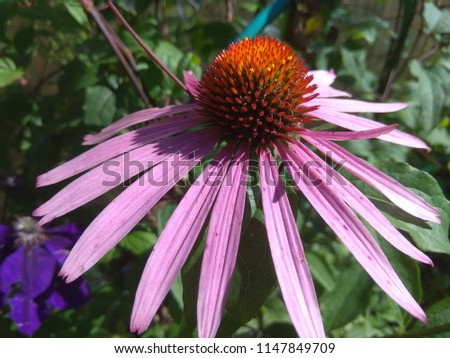 echinacea flower macro photo