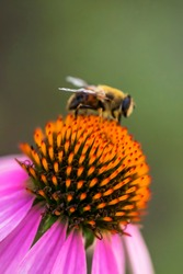 Echinacea flower. Pink petals and large yellow stamens of Echinacea. Macro photo. Medicinal flower in the garden. A bee on an echinacea flower. Yellow pollen of a flower. A bee pollinates.