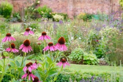 Echinacea Flowers In English Country Walled Garden With Other Plants In Large Mixed Flowerbed In Background - Image