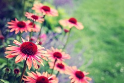 echinacea flowers in garden - flowers and plants