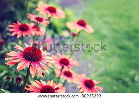 echinacea flowers in garden - flowers and plants #80935393